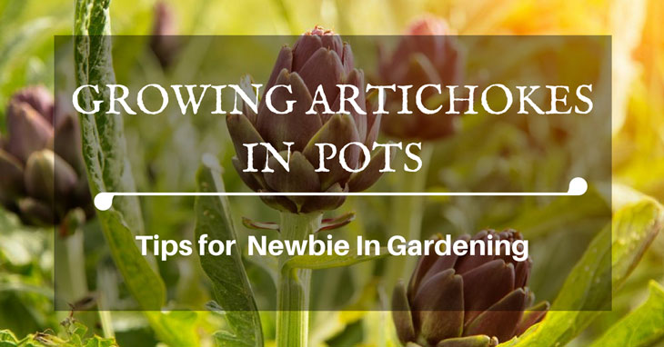 growing artichokes in pots