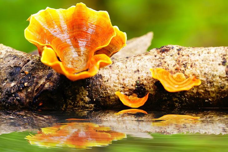 how to grow chanterelle mushrooms 001