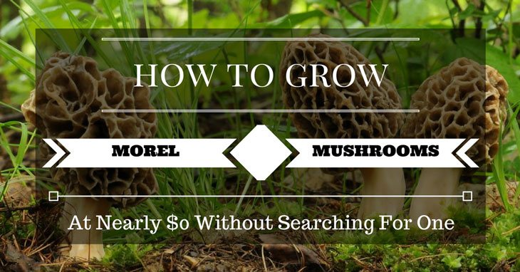 how to grow morel mushrooms