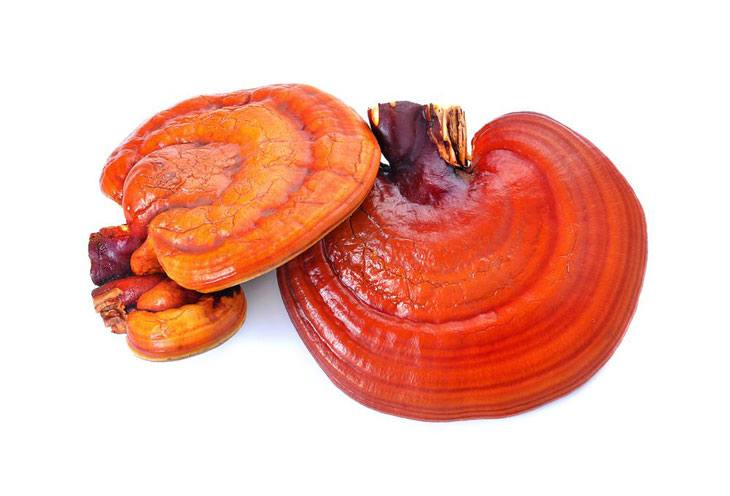 growing reishi mushrooms 003