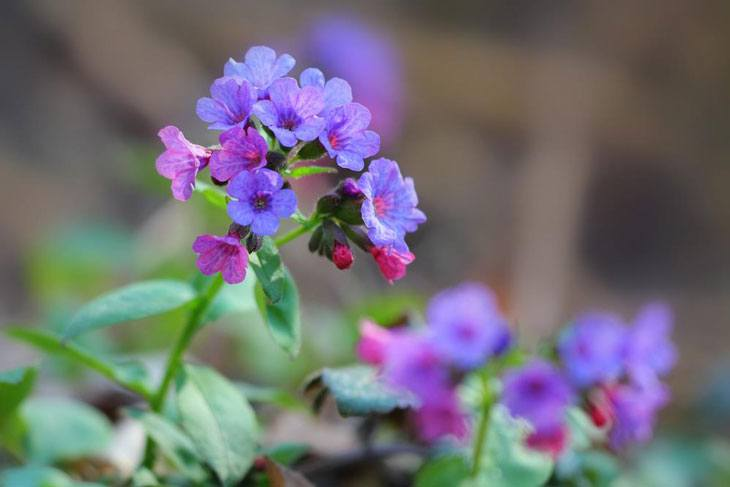 Plants for Clay Soil with Poor Drainage Pulmonaria