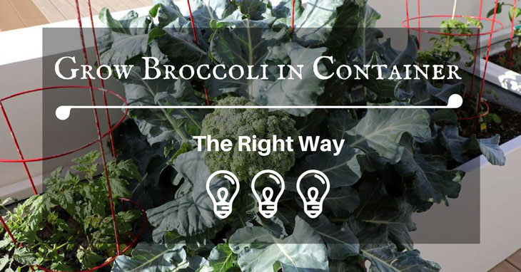 Grow Broccoli in Container